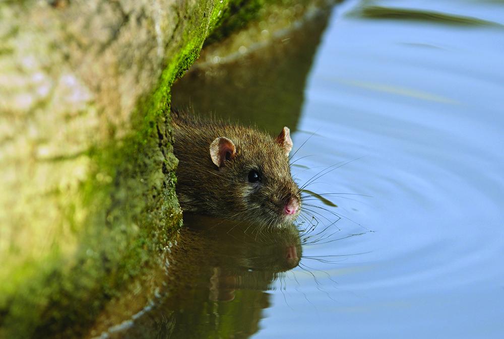 Geen muizen- en rattenplaag in 2023