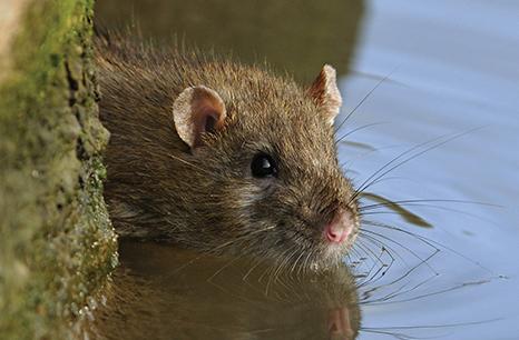 IPM Rattenbeheersing Image