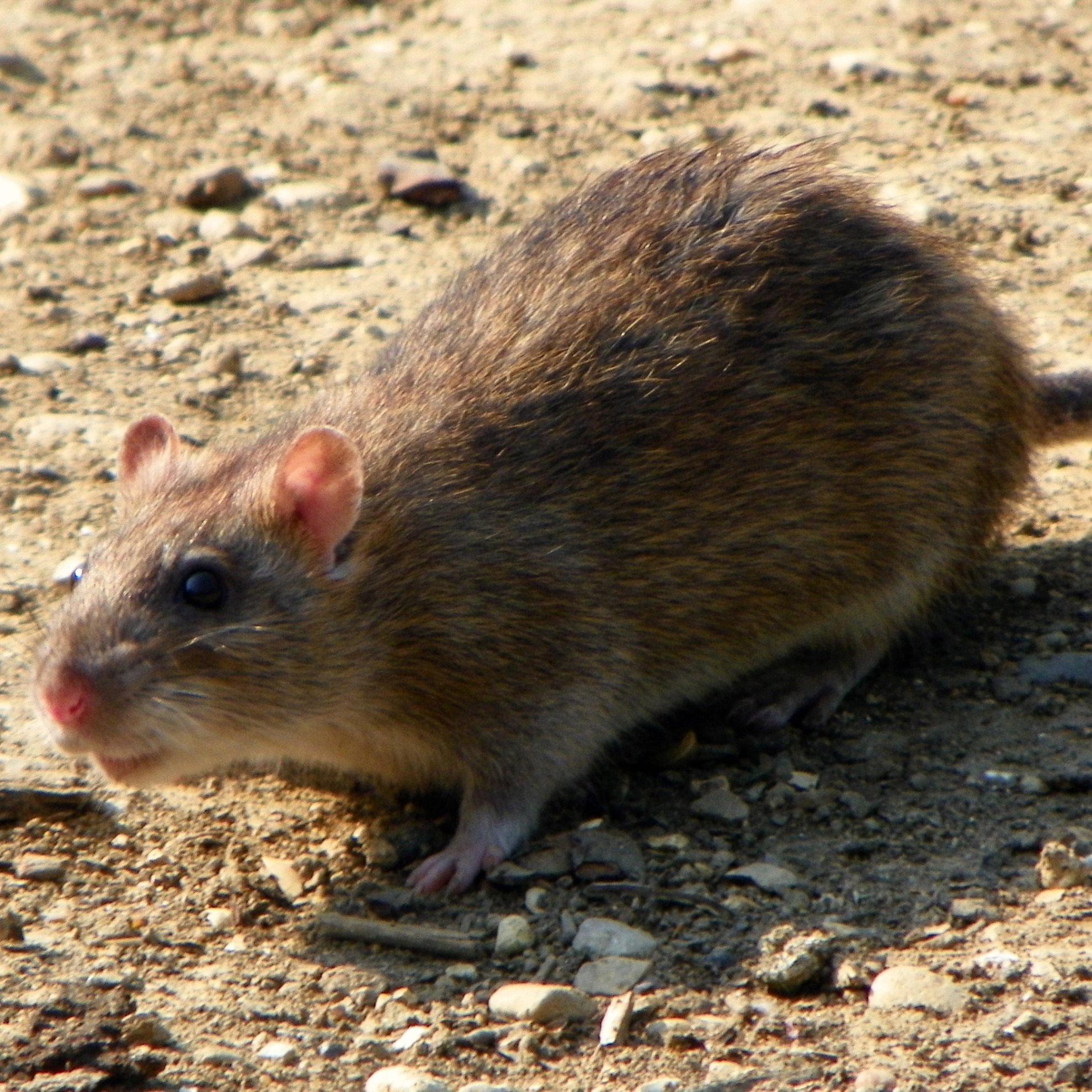 Ratten en muizen zorgen voor veel overlast op agrarische bedrijven: