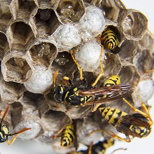 Last van wespen? Wij helpen u verder